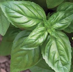 Planter du basilic pour faire fuir les mouches ?
